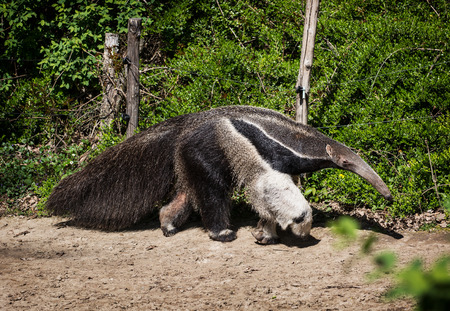 Giant anteater (Myrmecophaga tridactyla) and electric fence. Banco de Imagens