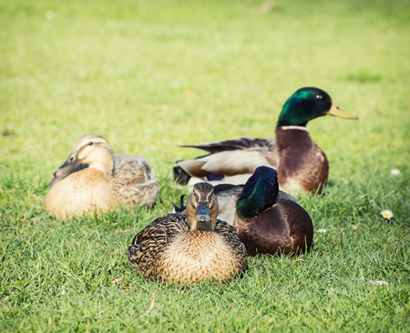 palmiped: Small group of mallard ducks on the green lawn. Stock Photo