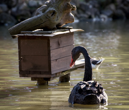 Black swan (Cygnus atratus) and birdhouse on the water. photo