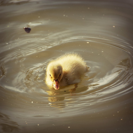 yellow duckling: Yellow duckling in the water. Stock Photo