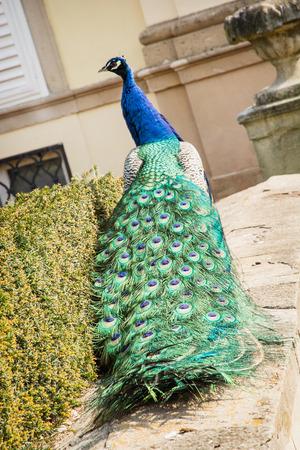 pavo: Peacock (Pavo cristatus) in the castle garden. Rear view.