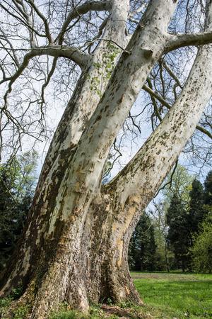 London plane tree (Platanus acerifolia). photo