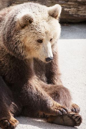 arctos: Brown bear (Ursus arctos arctos) sitting on the ground.