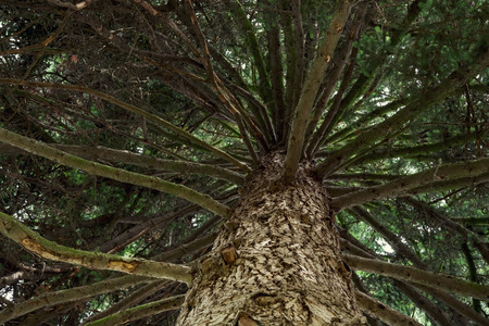 impermeable: Evergreen tree - view from the bottom up. Natural background.