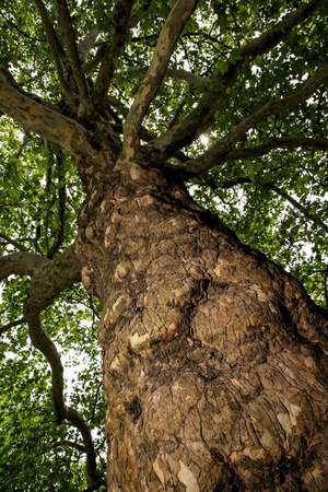 impermeable: European ash (Fraxinus excelsior) known as the ash or common ash. View from the bottom up.