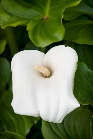 Beautiful white calla lily flower (zantedeschia) in the garden.