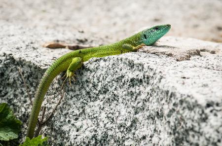 Beautiful European green lizard (Lacerta viridis) is basking on a rock. photo