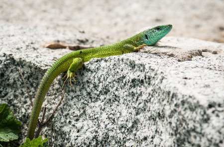 lacerta viridis: Beautiful European green lizard (Lacerta viridis) is basking on a rock.