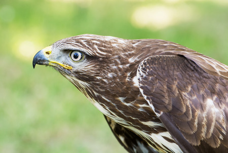 chrysaetos: The Golden eagle (Aquila chrysaetos) is one of the best-known birds of prey in the northern hemisphere. Stock Photo