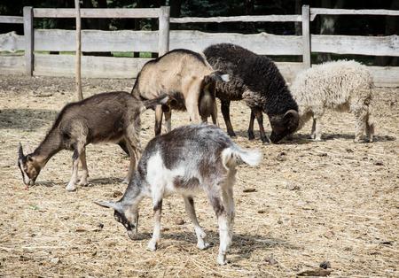 Sheep and goats. Farmyard in rural areas. photo