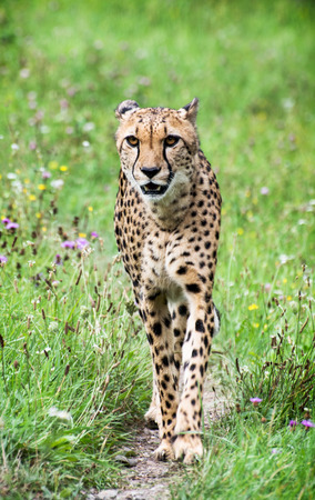 Cheetah (Acinonyx jubatus) walks in nature. photo