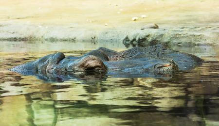 Hippopotamus (Hippopotamus amphibius) resting in the water. photo