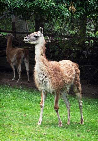guanicoe: Portrait of a Guanako llama (Lama guanicoe).