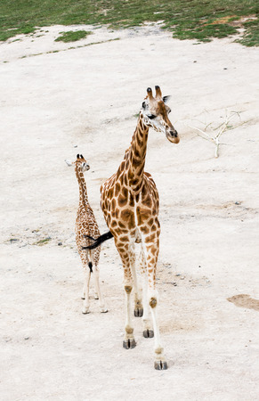 Rothschilds giraffe (Giraffa camelopardalis rothschildi). Young giraffe with cub. photo