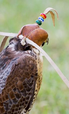 The Lanner falcon (Falco biarmicus) is a large bird of prey that breeds in Africa, southeast Europe and just into Asia. Predator with a leather cap on his head. Rear view.