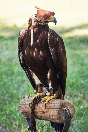 large bird: Large bird of prey with a leather cap on his head. Predator perched.