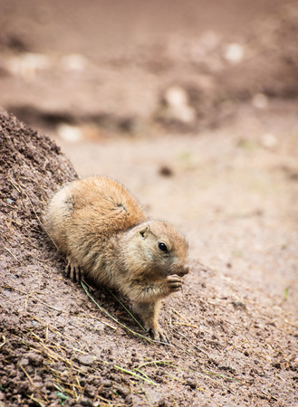 great plains: The Black-tailed prairie dog (Cynomys ludovicianus), is a rodent of the family Sciuridae found in the Great Plains of North America from about the USA-Canada border to the USA-Mexico border.