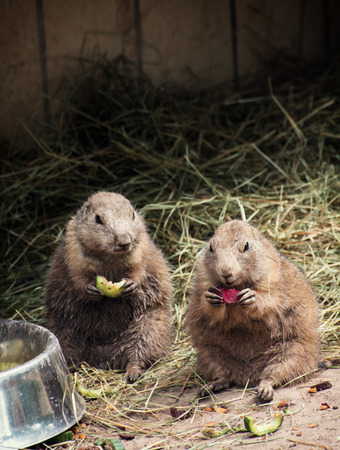 Two black-tailed prairie dogs (Cynomys ludovicianus) eat fruit. photo