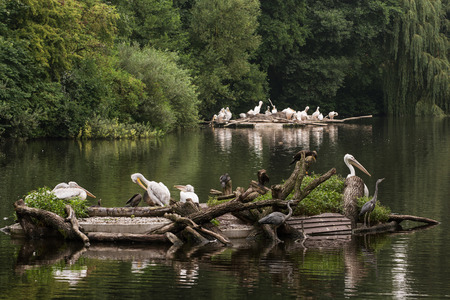 Large group of waterfowl on the lake. Great white pelican (Pelecanus onocrotalus), Cormorants and Grey heron (Ardea cinerea). photo