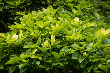 Deep green leaves in the garden. Natural theme. photo