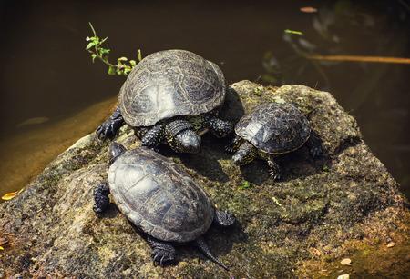 emys: The European pond turtle (Emys orbicularis) Stock Photo