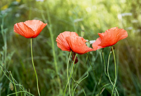 Papaver rhoeas (Corn poppy, Corn rose, Field poppy, Flanders poppy, Red poppy, Red weed, Coquelicot) in the sunny meadow. photo