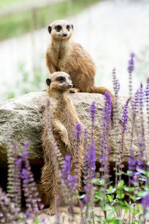 herpestidae: The Meerkat or Suricate (Suricata suricatta) is a small carnivoran belonging to the mongoose family (Herpestidae).