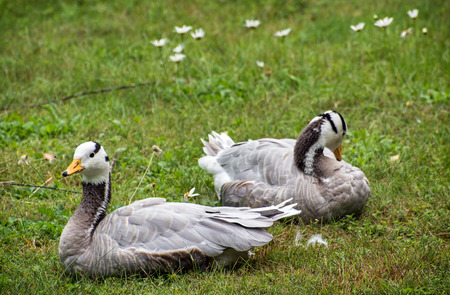 brigt: The Bar-headed goose (Anser indicus) Pair on the grass. Stock Photo