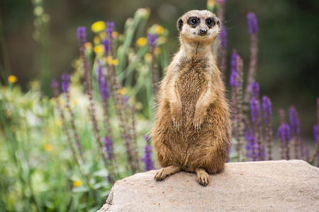 looking around: Meerkat or Suricate is looking around.
