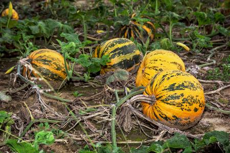 autumn harvest: Ripe pumpkins in the field. Autumn harvest. Stock Photo