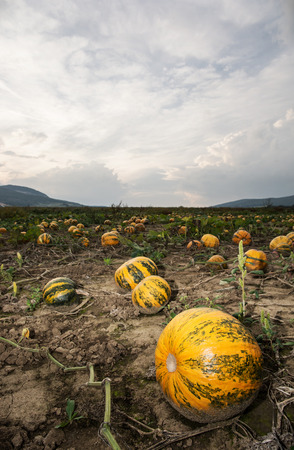 vertical composition: Pumpkin field and dramatic sky. Vertical composition.