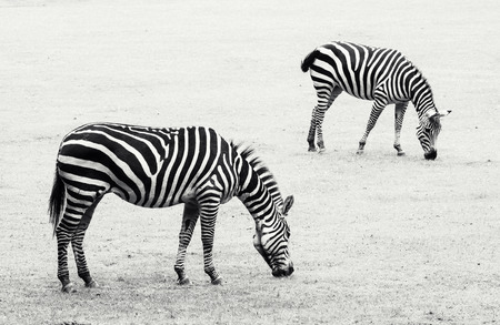 Two zebras grazing in the meadow. Black and white photo. photo