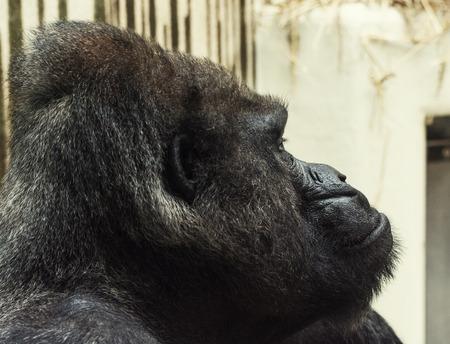 western lowland gorilla: Gorilla delle pianure occidentali Ritratto Vista laterale.