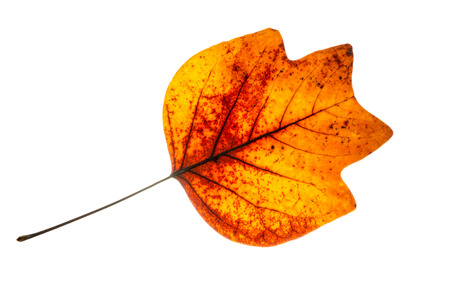 Red autumn leaf isolated on a white background. photo
