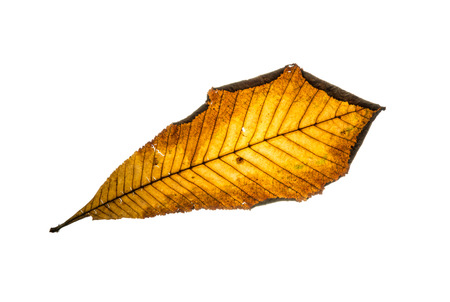 Autumn yellow horse-chestnut leaf isolated on a white background. photo