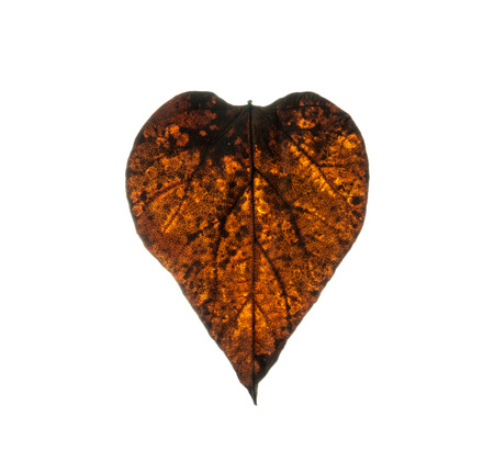 Dry leaf in shape heart isolated on white background. photo