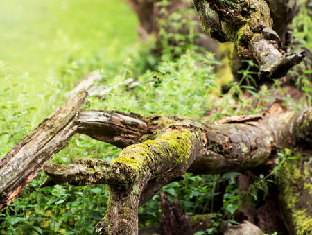 Fallen tree overgrown with moss. Natural theme. photo