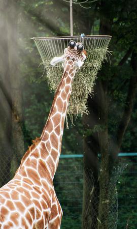 The reticulated giraffe (Giraffa camelopardalis reticulata) feeding hay.
