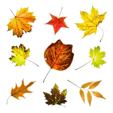 Colorful leaves isolated on white background. Autumn collage. Seasonal theme. photo