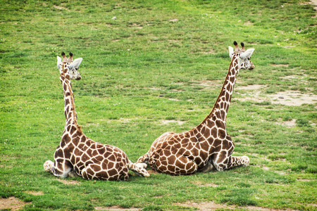 Two Rothschild giraffes resting in the grass. photo