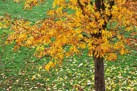 chestnut tree: Autumn chestnut tree with orange leaves. Stock Photo
