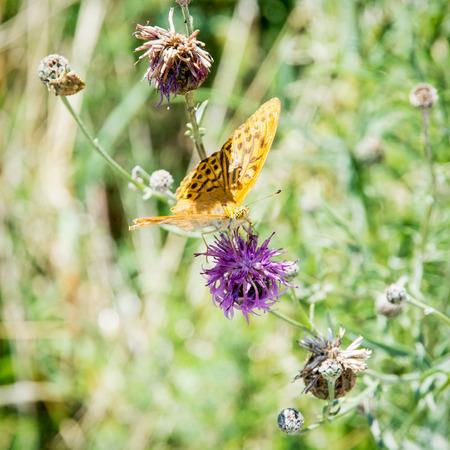 violette fleur: La fritillaire Lits place (Brenthis Hecate) est un papillon dans le nymphalidae de famille. Papillon orange sur la fleur pourpre. Banque d'images