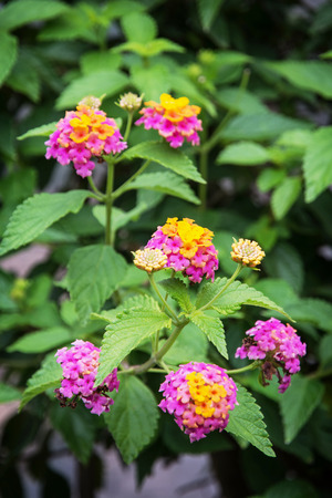 lamiales: Lantana camara, also known as big sage (Malaysia), wild sage, red sage, white sage (Caribbean) and tickberry (South Africa). Stock Photo