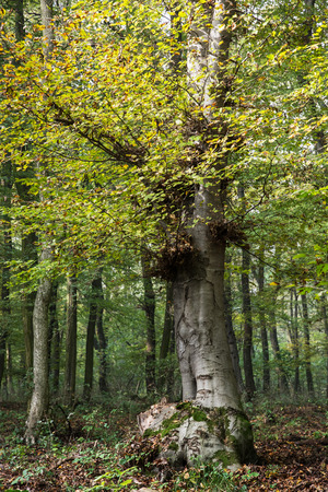 lop: Big deciduous tree in a dense forest. Autumn nature.