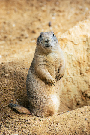 The groundhog (Marmota monax), also known as a woodchuck, whistle-pig, or land-beaver in some areas, is a rodent of the family Sciuridae.