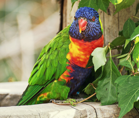 The Rainbow lorikeet (Trichoglossus haematodus) is a species of Australasian parrot found in Australia. photo