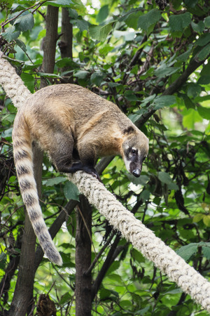South American coati or Ring-tailed coati (Nasua nasua).