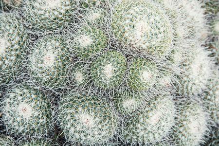 flowering plant: Mammillaria geminispina (Twin cactus spined) � una specie di pianta della famiglia Cactaceae, originaria del Messico centrale.