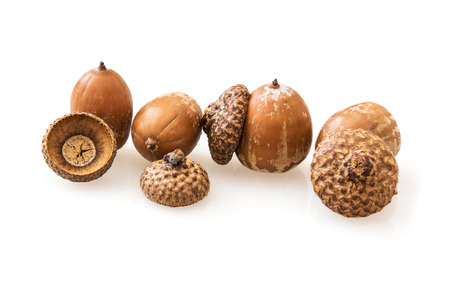 fagaceae: Acorns on a white background. The acorn, or oak nut, is the nut of the oaks and their close relatives (genera Quercus and Lithocarpus, in the family Fagaceae).