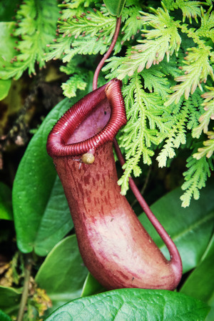 Nepenthes carnivorous plant. Natural theme. photo